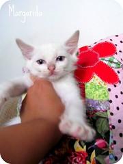 Quem quer deixar sua vida mais feliz com a Margarida? (Joana Joaninha) Tags: minasgerais cat gato belohorizonte miau adoo joanajoaninha hellennilce