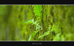 green - leaves (e.nhan) Tags: light green art nature leaves closeup leaf colorful colours dof bokeh arts vietnam backlighting enhan