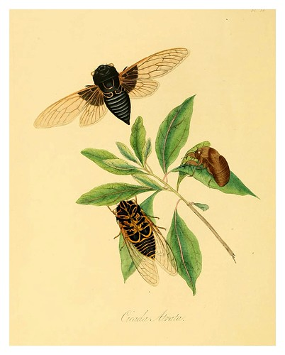 010-Cicada Atrata-Natural history of the insects of China…1842- Edward Donovan