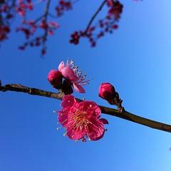 梅まつりは2月5日から