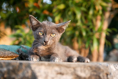 Pattaya (Patrick Magon) Tags: chats animaux pattaya thailande