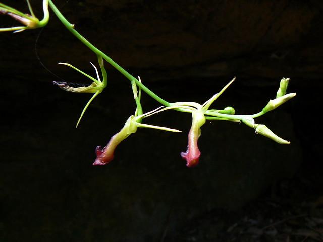 Cryptostylis subulata