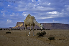 Camel- Explore (TARIQ-M) Tags: sky cloud mountains tree amazing desert ripple camel ripples camels riyadh saudiarabia hdr app  canonefs1855          canon400d  tuwaiq tariqm tuwaiqmountains tariqalmutlaq kingofdesert
