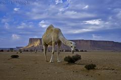 Camel- Explore (TARIQ-M) Tags: sky cloud mountains tree amazing desert ripple camel ripples camels riyadh saudiarabia hdr app الصحراء canonefs1855 جمال الرياض صحراء خيمة جمل ابل خيام نياق المملكةالعربيةالسعودية canon400d ناقة pic32 tuwaiq tariqm tuwaiqmountains tariqalmutlaq kingofdesert pic32100606169424624226321posts najd12sa