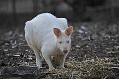 featherdale park Albino Kangaroo (picsie14) Tags: white animals interestingness interesting wildlife sydney australia kangaroo nsw albino featherdale 80400mm australiananimals interestingness2 longlens d700 nikond700