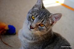 Sansa <3 (Hachiko_cats) Tags: pet cats pets cute animal animals cat nikon feline gatos gato felino animales neko gatto gatti gatito lovecat feliscatus nikonlens catslife