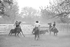 Juegos de aparte (Diego Serra) Tags: aparte campero juegos caballos vaca cow horses horseman