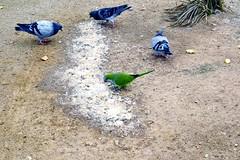 COLOMS I COTORRA ARGENTINA (Yeagov C) Tags: coloms cotorraargentina cotorra 2016 barcelona catalunya ocell au montjuc miradordelalcalde