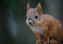 Squirrel (jussitoivanen) Tags: squirrel animal nature animalplanet bokeh macro