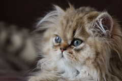 Molly (¡! Nature B■x !¡) Tags: animal félin chat chaton persan molly golden yeux bleu portrait img6338