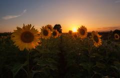 Girasoles al Atardecer... (Explored 06/10/2016) (protsalke) Tags: sunset sunflowers sky beautiful colors calm field sun