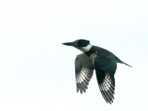 Belted Kingfisher in Flight 20101123