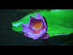 water lily (e.nhan) Tags: flowers flower nature closeup landscape bokeh enhan mywinners