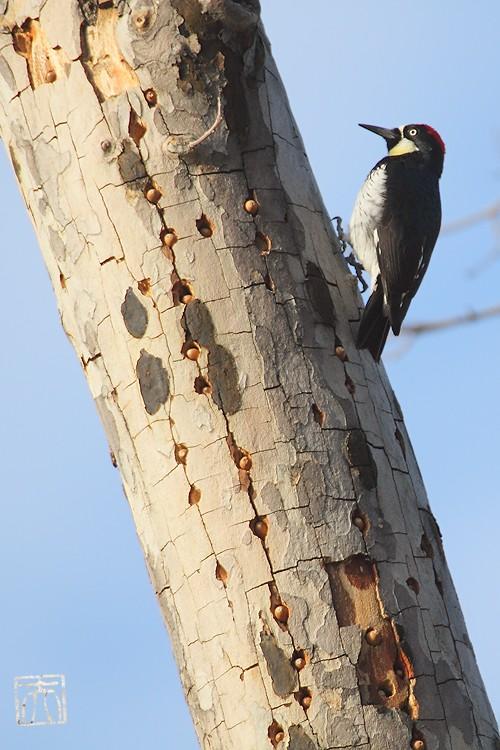Acorn Woodpecker112810