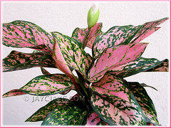 Young potted Aglaonema 'Valentine' (Thai Aglaonema, Chinese Evergreen) with a flower, shot Oct 28 2009