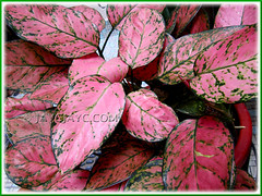 Pink+green leaf variegation of Aglaonema 'Valentine' (Thai Aglaonema, Chinese Evergreen), Nov 27 2010