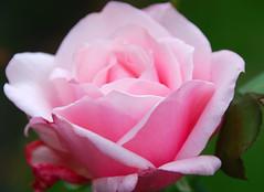 October Rose in the Pink! (antonychammond) Tags: flower rose garden october pinkrose naturesfinest fantasticflowers coth bej flowersarebeautiful mimamorflowers awesomeblossoms virtualjourney coth5 fleursetpaysages virgiliocompany