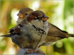 Playful Sparrows 2 [Explored] (-=[Joms]=-) Tags: autumn usa bird nature animals sparrow hs10 hs11 pnsers