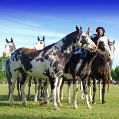 El overo zarco (Eduardo Amorim) Tags: horses horse argentina criollo caballo cheval caballos cavalos pferde herd cavalli cavallo gauchos pferd pampa chevaux gaucho campero provinciadebuenosaires gachos sanantoniodeareco areco gregge crioulo troupeau caballoscriollos herde criollos tropillas pampaargentina camperos tropilhas tropilla crioulos cavalocrioulo tropilha caballocriollo campeiros campeiro eduardoamorim cavaloscrioulos iayayam yamaiay pampaargentino
