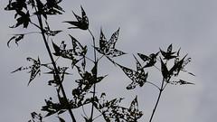 Autumn Leaves (ddsnet) Tags: new autumn plant leaves sony taiwan autumnleaves experience   taoyuan autumnal   nex    leaves mirrorless autumn autumn leaves emount nex5 newemountexperience 851 85