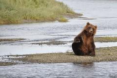 Alaskan Coastal Brown Bear (andertho) Tags: bear alaska creek silver nps salmon lodge grizzly grizzlybear lakeclark lakeclarknationalpark silversalmoncreeklodge