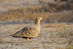 Chestnut-bellied Sandgrouse (Rajiv Lather) Tags: india bird nature birds fauna photo wings desert image wildlife indian birding feathers aves photograph camouflage birdwatching rajasthan avifauna browntones gregarious pteroclesexustus chestnutbelliedsandgrouse birdsofindia chhapar pterocles seedeater semidesert featherpattern pteroclidae syrrhaptes pteroclidiformes