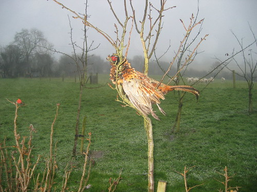 Pheasant in a pear tree 5