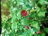 Fuchsia 'TSJ' (pennyeast) Tags: flower botanical fuchsia capetown papaalphaecho