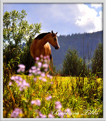 My Buckskin Beauty - Dusty (Explored) (misst.shs) Tags: summer horse nikon dof explore pasture buckskin dun wormseyeview northidaho d90 explored
