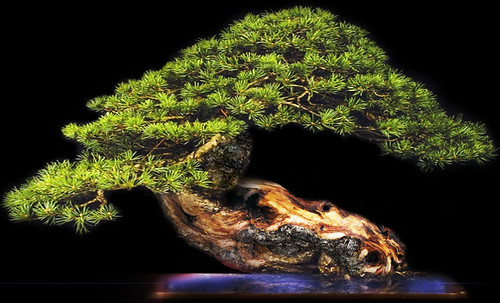 """Bonsai056 • <a style=""""font-size:0.8em;"""" href=""""http://www.flickr.com/photos/30735181@N00/5261334761/"""" target=""""_blank"""">View on Flickr</a>"""