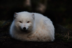 Snow Fox (Inglfur B) Tags: snow ice nature dark island photo iceland dusk picture fox sland mynd hvtur ogni darkandmoody refur inglfur  tfa gni inglfurb ingolfurb bjargmundsson