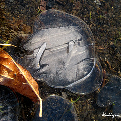 Puddle Art (monteregina) Tags: canada abstract cold macro texture ice geometric nature water leaves lines closeup puddle design frozen eau frost crystals mare natural geometry circles patterns details curves natur shapes structures textures rings qubec designs forms layers swirl swirls mince transparent cracks thin icy kalt eis froid patron feuilles formations lignes couches glace abstrakt motifs abstractions flaque geometrie abstrait pftze courbes cercles dtails formes cristaux troudeau icebubbles monteregina icedpuddle pftze