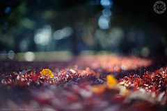 Forest floor bokeh; Yoyogi Park, Tokyo (Alfie | Japanorama) Tags: park autumn trees winter light red orange fall leaves yellow japan forest japanese tokyo nikon bokeh momiji ginko yoyogipark d700 dr3 nikkor50mmf12ai rightanglefinder