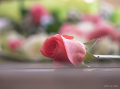 pink rose (e.nhan) Tags: pink flowers red flower nature rose closeup landscape colorful colours dof bokeh enhan mywinners colorphotoaward
