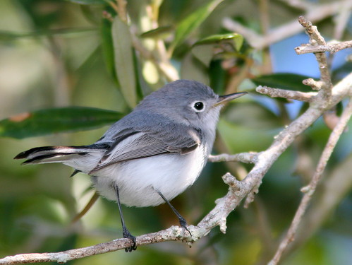 Blue-gray Gnatcatcher 20101220