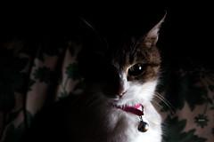 (MyMaSs) Tags: cats cat kitten chat darkness kitty gatto gatti micio oscurit
