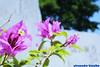 Bougainvillea spectabilis (abicalho) Tags: primavera canon bougainvillea bonsai alexandre 30d goiania goias spectabilis bicalho