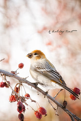 A Holiday Feast (Bryan O'Toole) Tags: winter ontario canada bird nikon berries wildlife soo christmaseve saultstemarie northernontario algoma pinegrosbeak nikkorafs70200f28vr aholidayfeast nikond80 femalepinegrosbeak