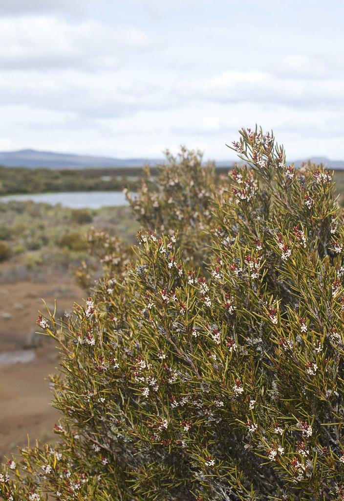 Orites acicularis in flower.