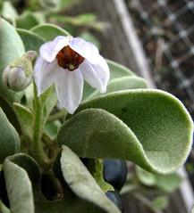 Solanum nelsonii (D.Eickhoff) Tags: nelsons solanum solanaceae horsenettle nelsonii pōpolo solanumnelsonii nelsonshorsenettle taxonomy:binomial=solanumnelsonii