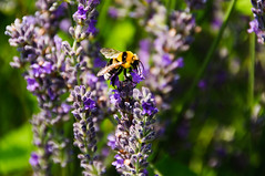 """Bee on Lavender in Croatia • <a style=""""font-size:0.8em;"""" href=""""https://www.flickr.com/photos/21540187@N07/5316273086/"""" target=""""_blank"""">View on Flickr</a>"""