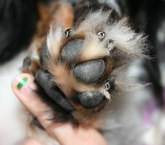 Orion (MNKaren) Tags: tag3 taggedout furry tag2 tag1 fuzzy dachshund paws wienerdog doxies dogpaws dogfeet furrypaws 10million 10millionphotos