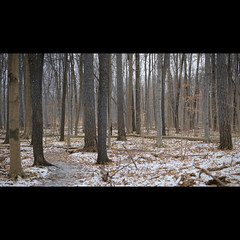 IMG_2208ap (damian5d) Tags: trees winter ontario woodland 85mm stitched