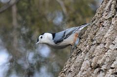 2011 White-breasted Nuthatch 2 (Explore #3 1/6/11) (DrLensCap) Tags: park bird robert rock illinois state il nuthatch kramer utica starved whitebreasted mygearandmepremium mygearandmebronze