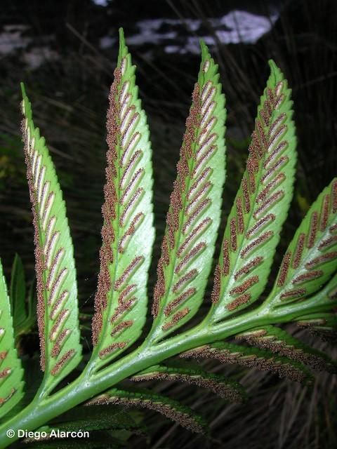 Detalle de los soros con esporas en diseminación, en el envés de las frondes fértiles de <i>Asplenium obtusatum var. sphenoides</i>.