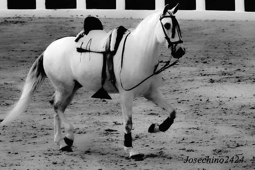 El caballo blanco de Santiago.