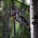 Summer Great Grey Owls