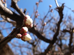 Ume-plum flower