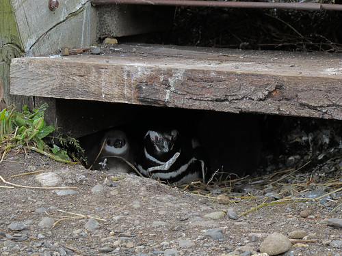 Penguin Nest Under the Stairs - Tierra del Fuego, Argentina