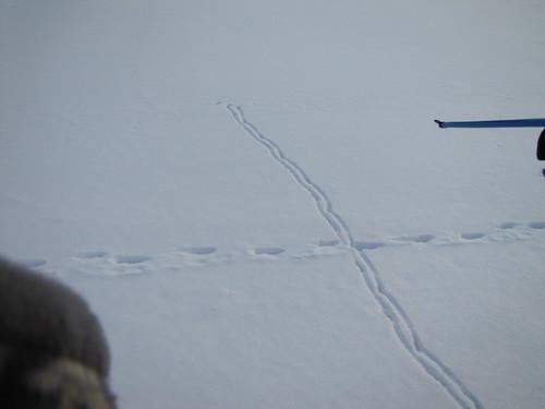 fox track crossing bird track